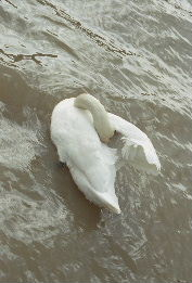 Swan in Neckar River, Heidelberg Germany