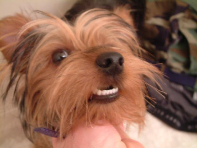 Want to get electrolysis but simply can't afford the bills?  Then become a Yorkie!>>>