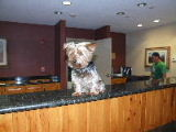 Gizmo, helping out at the front desk of Winter Park Mountain Lodge